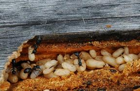 formiche giganti