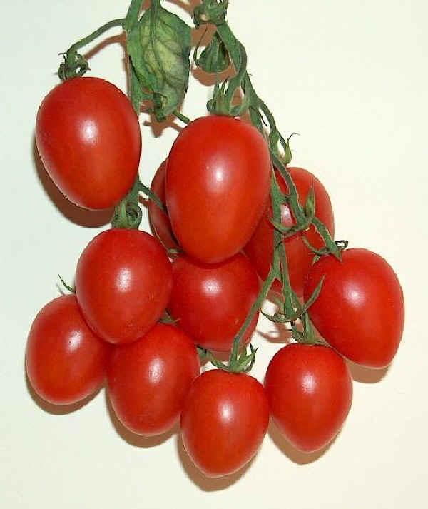 Nepitella - Pinetree Garden Seeds - Superseeds.com