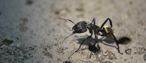 Aiuto, formiche giganti!