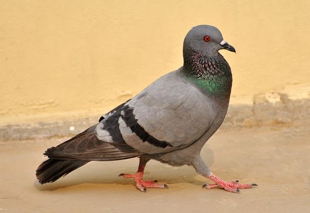 piccione sconti d'autunno