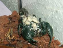 gli scorpioni in italia