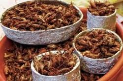 crickets toasted