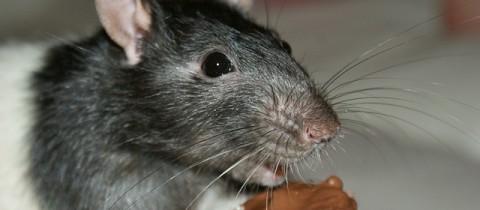 La vita dei topi tra verità e leggenda
